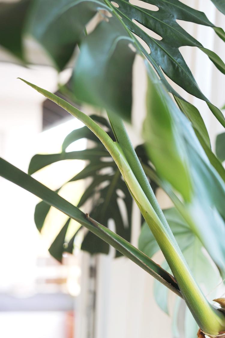 so vermehrt ihr eure monstera pflanze im wasser bonny und kleid. Black Bedroom Furniture Sets. Home Design Ideas