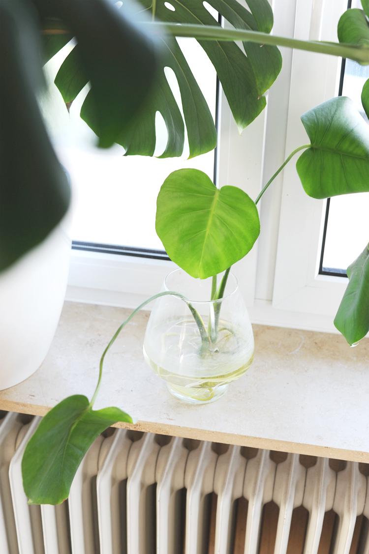 So vermehrt ihr eure Monstera Pflanze im Wasser u2013 OBSiGeN ~ 01000848_Sukkulenten Ableger In Wasser