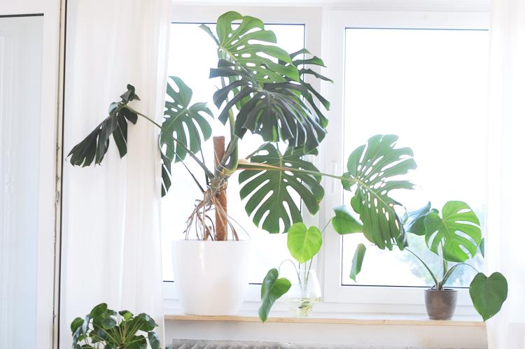 Außergewöhnlich So vermehrt ihr eure Monstera-Pflanze im Wasser – Bonny und Kleid &TU_08