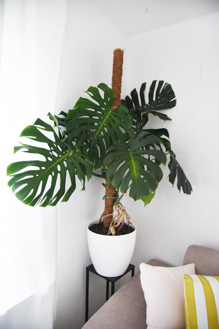 Monstera festbinden: So mach ich meine Pflanze hübsch