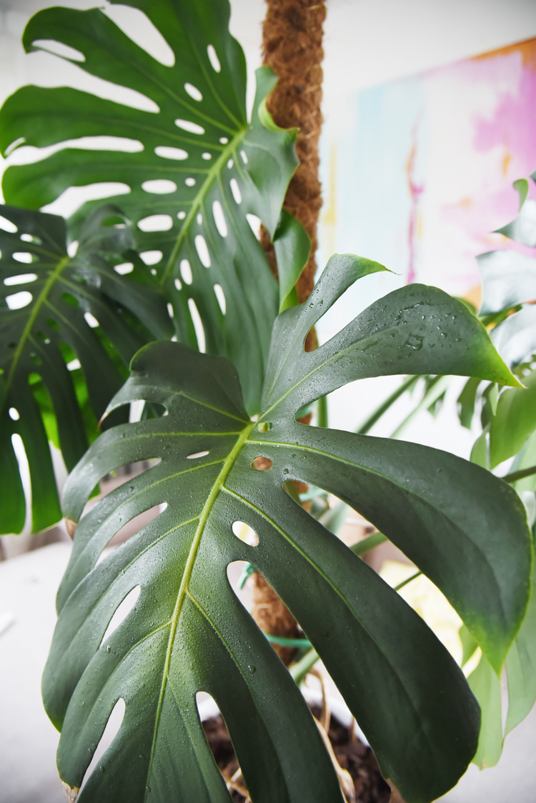 Beliebt Bevorzugt Monstera festbinden: So mach ich meine Pflanze hübsch – Bonny und #NC_31