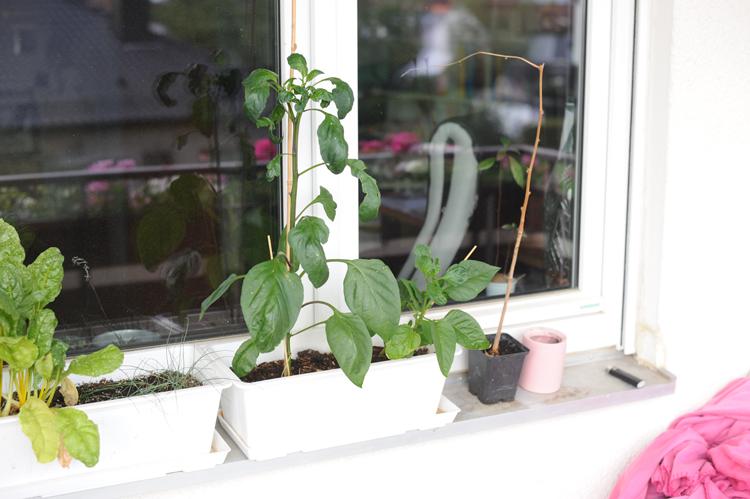Paprika Pflanzen selber ziehen