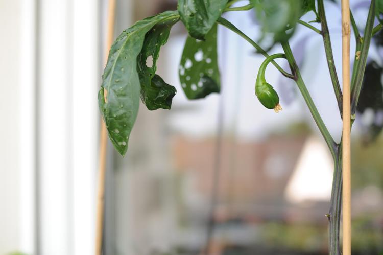Paprika-Samen-aus-gekaufter-Paprika